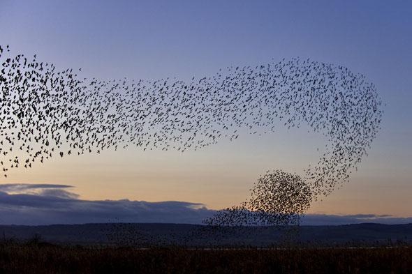 starlings84436817