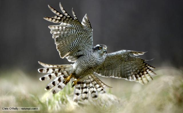 Northern goshawk {Accipiter gentilis} female flying, Cairngorms NP, Scotland, UK, Controlled