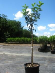 Apple_Tree_2_Resized_large